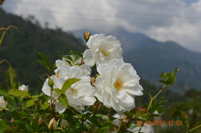 White blossoms near the Neugal river, Himachal Pradesh.