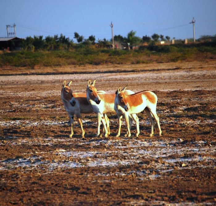 A lucky snap! The near-extinct Ghudkhar near Zainabad, Gujarat.
