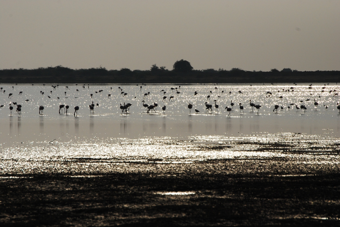 Migratory birds like Siberian cranes and flamingoes sighted at the Navsagar lake.