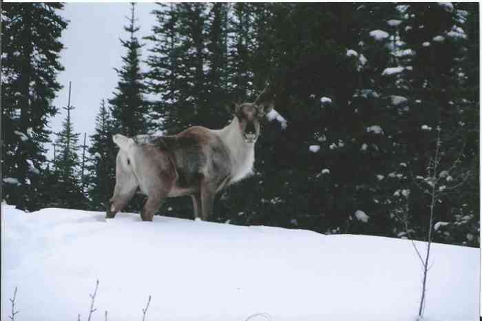 A caribou.
