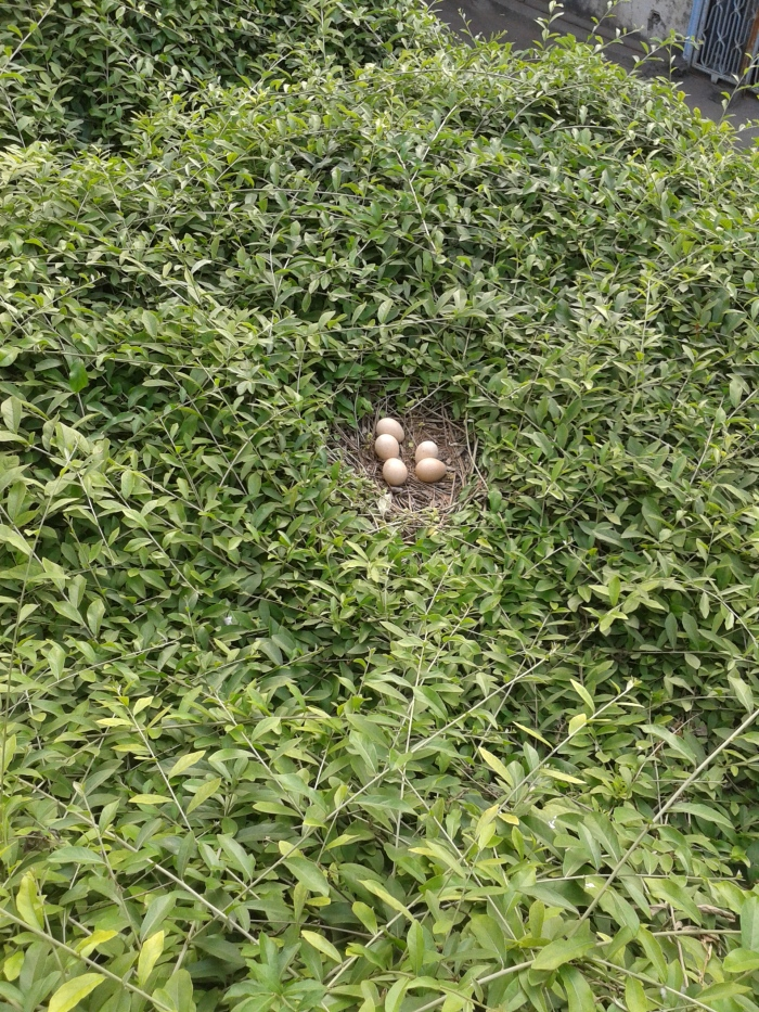 Eggs of the peahen, Ahmedabad.