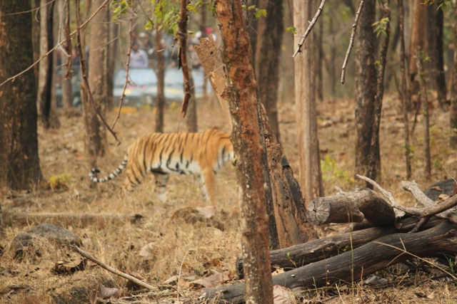 The tigress at Pench. PHOTO CREDIT - Ramesh Rana