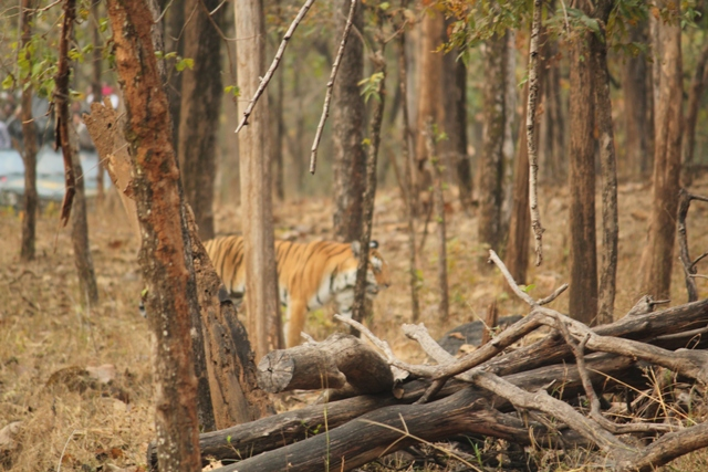 A tigress goes for a stroll, Pench. PHOTO CREDIT - Ramesh Rana