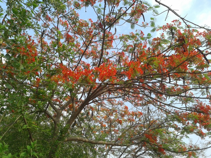 Gulmohar tree in a park nearby.